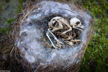 Een nestje met dode koolmeesjes.