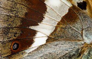 Met een macrolens kun je de fijnste details van de vlindervleugel vastleggen. - Fotograaf: Ron Poot