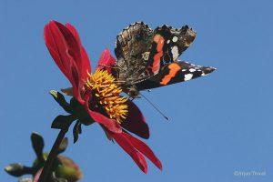 Een tuin vol bloemen trekt altijd veel atalanta's. - Fotograaf: Arjan Troost