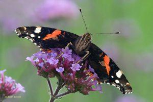 Een benadering vanaf laag standpunt brengt de vlinder weer eens anders in beeld. - Fotograaf: Arjan Troost
