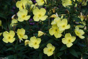 Pas bij schemer gaan de bloemen van middelste teunisbloem open. - Fotograaf: Ron Poot