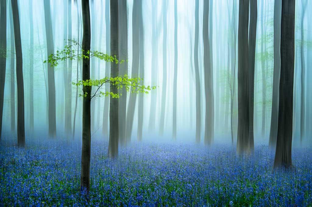 Haller bos met mist en hyacinten