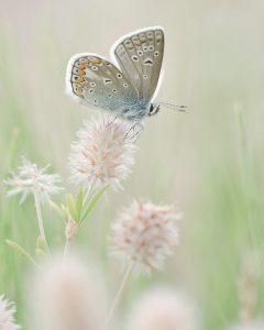 De waardplanten van het icarusblauwtje zijn vlinderbloemigen zoals het hazenpootje.  - Fotograaf: Johan van Gurp