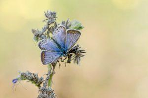 Het vrouwtje heeft bruine en blauwe tinten en vlekjes op de bovenvleugels. - Fotograaf: Johan van Gurp