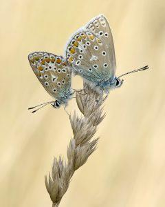 Parende vlinders. - Fotograaf: Johan van Gurp