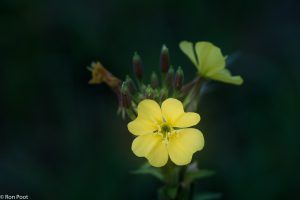 Door de heldergele kleur valt de bloem in het donker goed op. - Fotograaf: Ron Poot