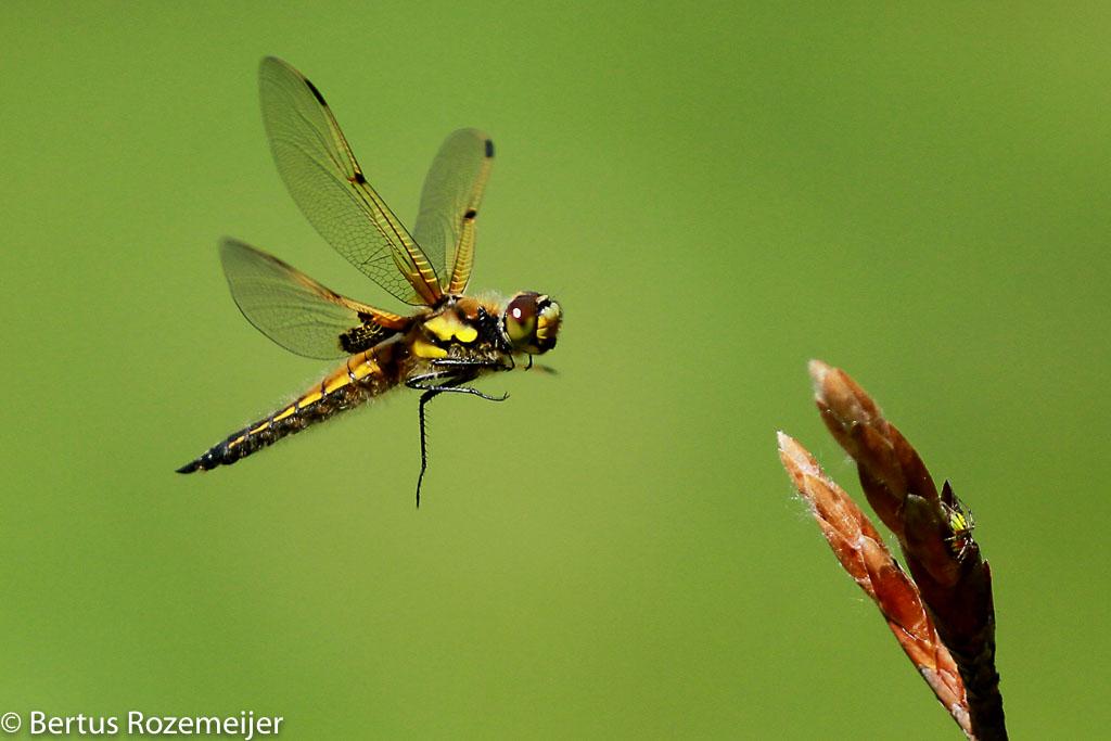 vliegende libellen
