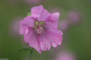Bij diffuus licht is het roze mooi zacht van kleur.  - Fotograaf: Ron Poot