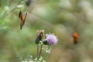 Oranje zandoogjes kennen geen territoriumgedrag maar vechten wel om een nectar rijke plant.  - Fotograaf: Ron Poot