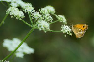 Geeft de vlinder de ruimte. Door zijn kleur valt hij toch wel op. - Fotograaf: Ron Poot