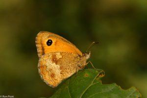 Probeer van opzij de vlinder in een vlak te krijgen als je fotografeert. - Fotograaf: Ron Poot