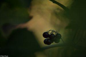 De duistere sfeer van de giftige plant in beeld gebracht door onderbelichting. - Fotograaf: Ron Poot