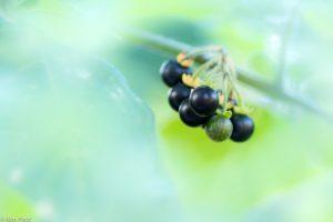 Door de vegetatie heen gefotografeerd, dit geeft de bessen een natuurlijke omlijsting. - Fotograaf: Ron Poot