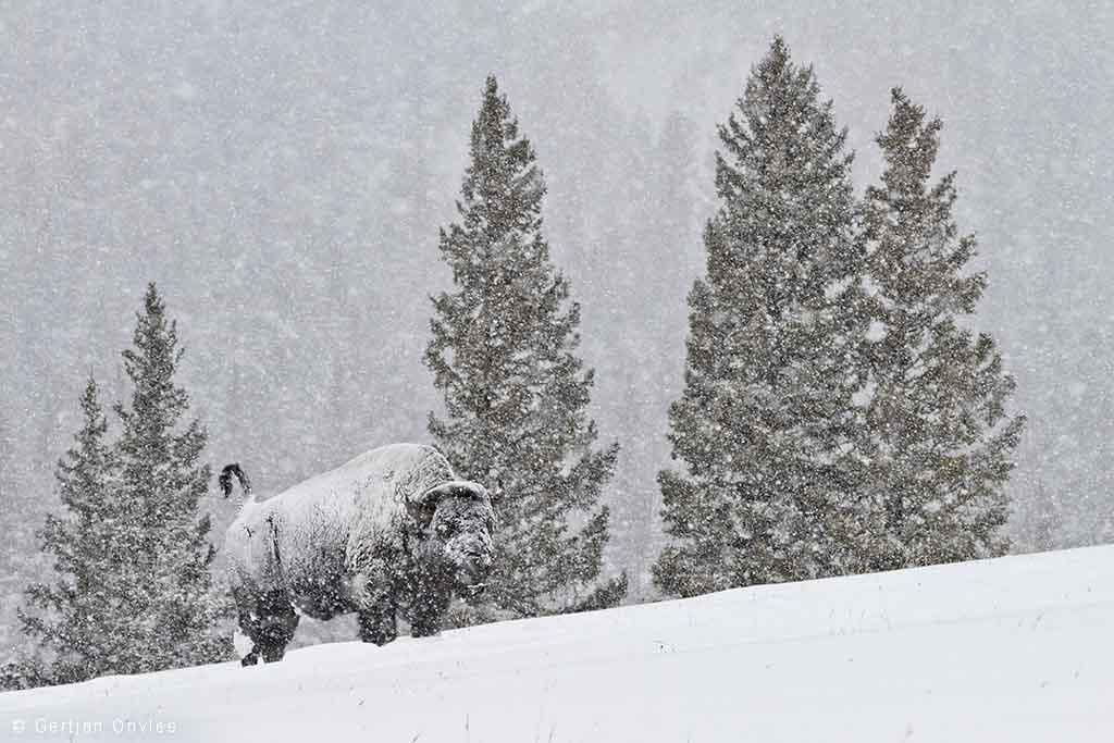 Ondergesneeuwde bizon in Yellowstone