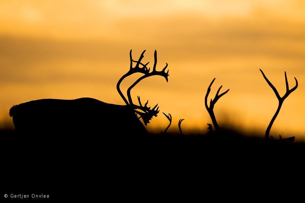Silhouetten van wilde rendieren in Noorwegen tegen zonsondergan
