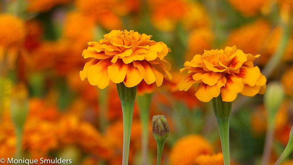 Hoe film je swingende zonnebloemen?