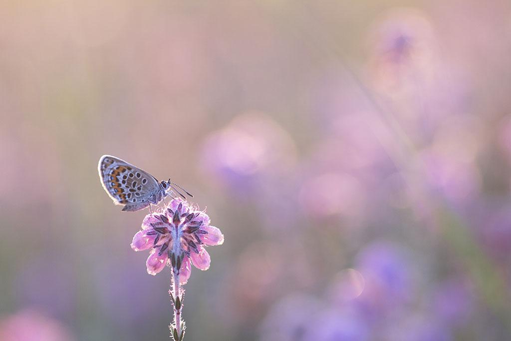 Vlindertje in het roze