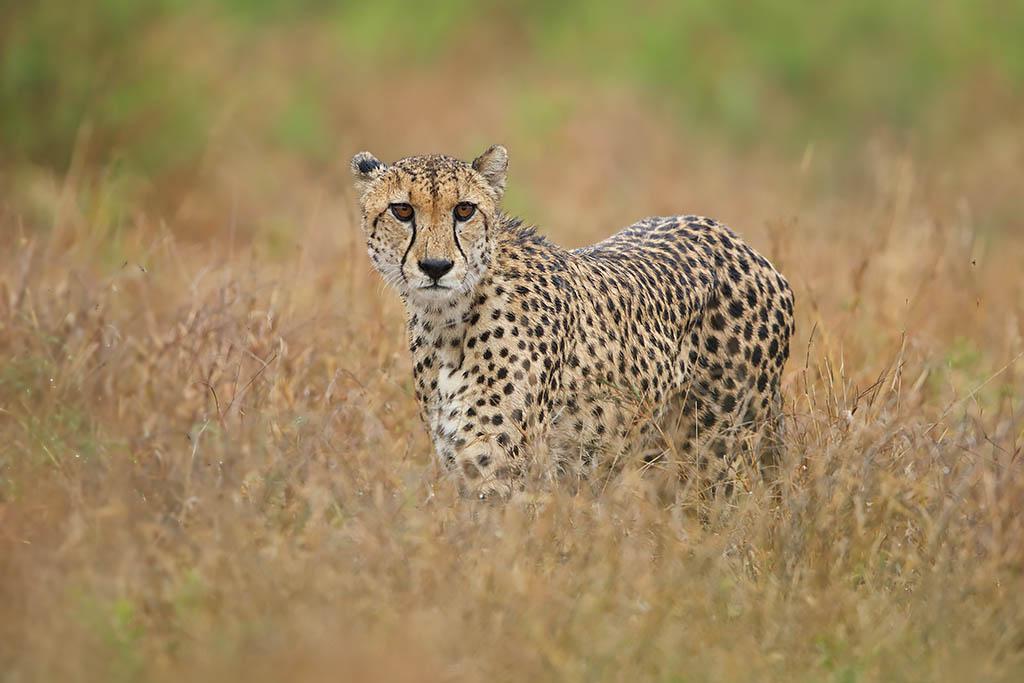 Jachtluipaard Krugerpark Zuid-Afrika