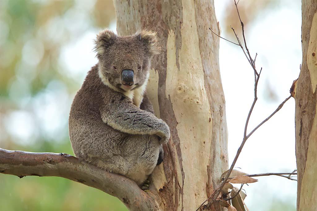Koala Victoria Australië
