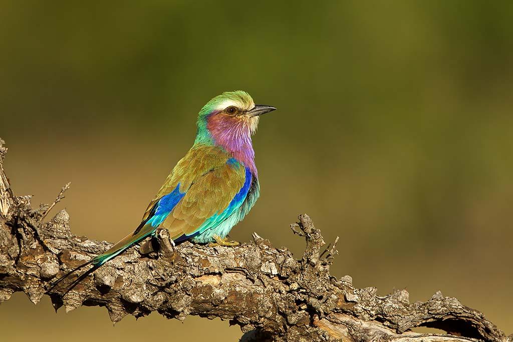 Lilac-breasted Roller Krugerpark Zuid-Afrika
