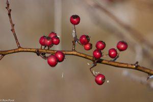 De bessen van meidoorn blijven tot ver in de winter rood. - Fotograaf: Ron Poot