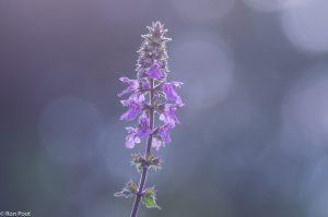 In de zomer verschijnen de bloemtrossen van moerasandoorn aan de waterkant. - Fotograaf: Ron Poot