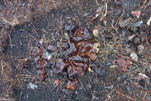 Een half jaar na de bosbrand verschijnt de oliebolzwam in het naaldhout,  - Fotograaf: Ron Poot