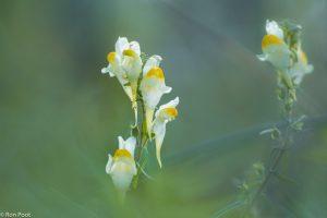Vanaf laag standpunt vervagen voor en achtergrond en komt de bloem goed tot zijn recht. - Fotograaf: Ron Poot