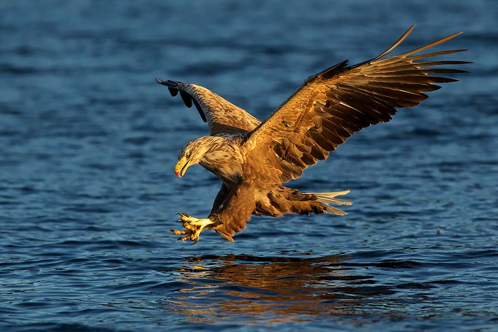 White-tailed Eagle Noorwegen