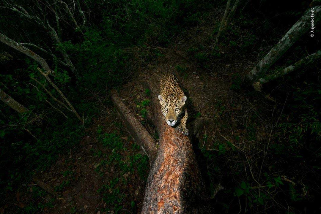 Winner 2018, Wildlife Photojournalist Award, Story: Signature tree by Alejandro Prieto, Mexico.