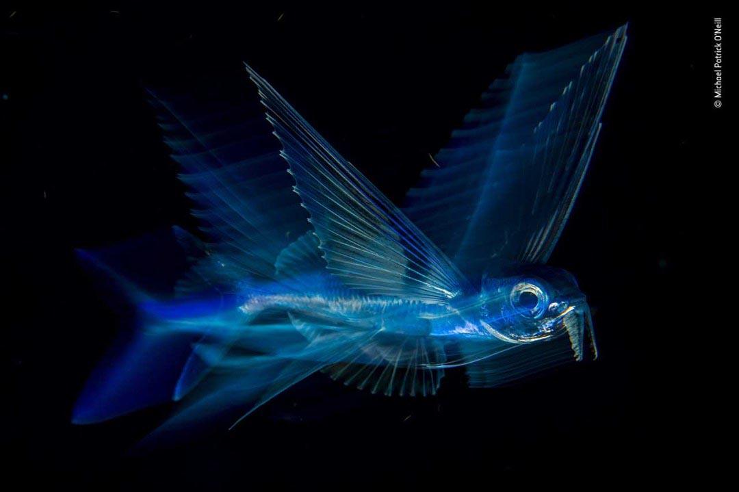 Winner 2018, Under Water: Night flight by Michael Patrick O'Neill, USA.