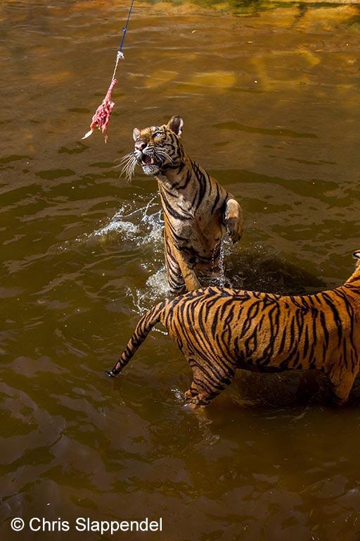 Atletische tijgers