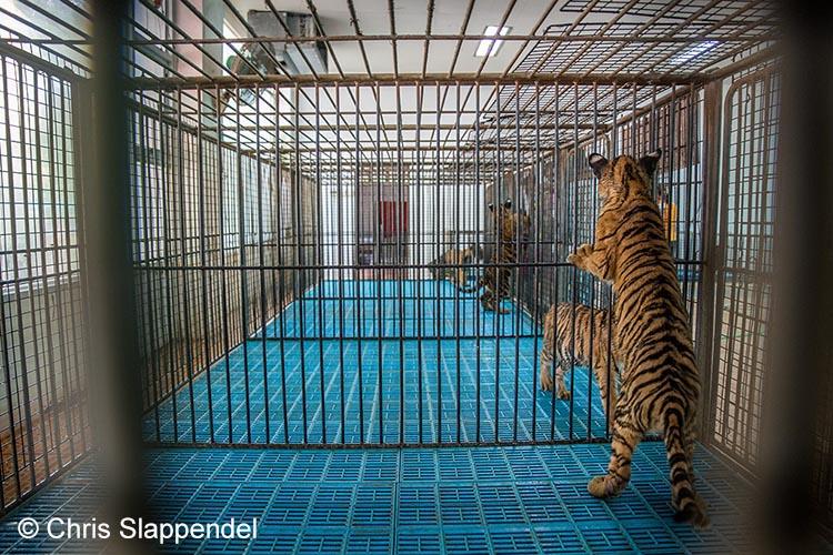 Babytijgers - Sriracha Tiger Zoo .
