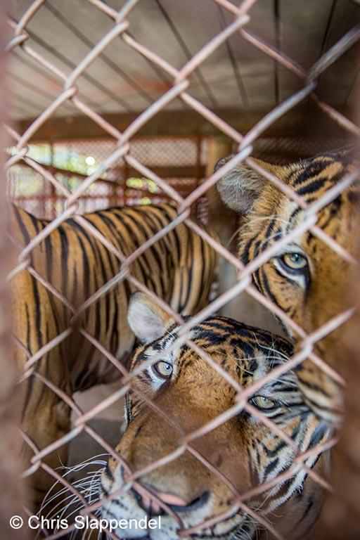 Opgesloten tijgers