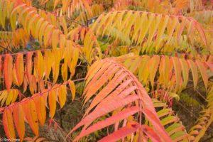 Een van de uitbundigste herfstbomen is de fluweelboom met zijn grote samengestelde bladeren.  - Fotograaf: Ron Poot