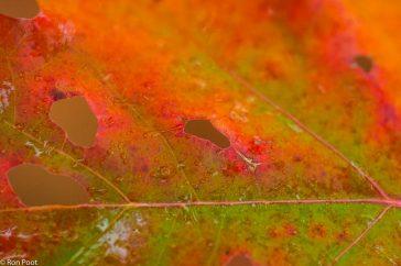 Gekleurd eikenblad
