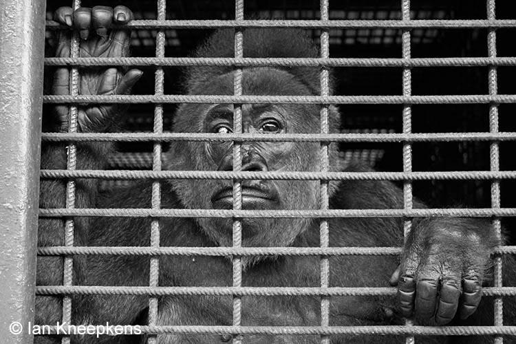 Cross River Gorilla in gevangenschap