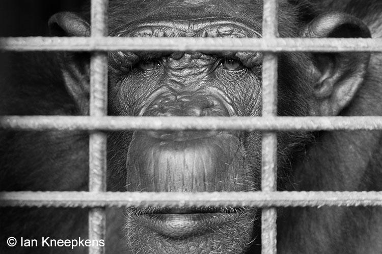 Chimpansee in wildlife center.