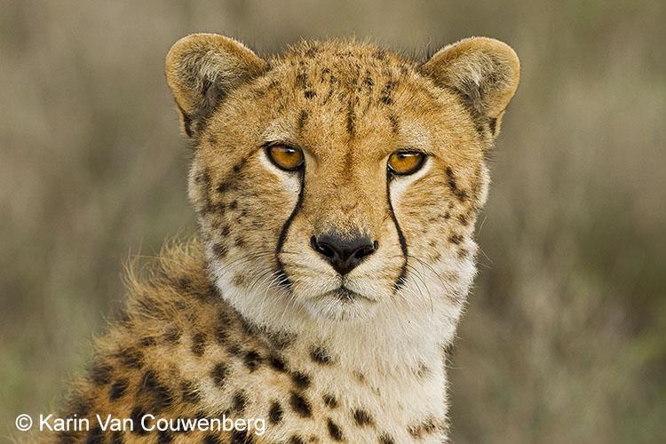 Jachtluipaard (cheeta) - Tanzania.