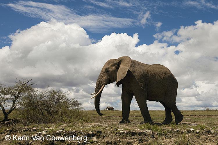 Olifant - Tanzania
