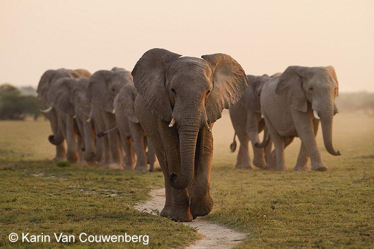 Groep olifanten - Botswana
