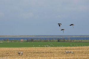 Het landschap van Noord Duitsland waar de kraanvogels zich verzamelen. - Fotograaf: Ron Poot