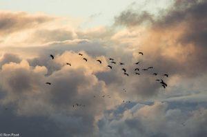 In de schemer trekken de kraanvogels massaal naar hun slaapplaatsen. - Fotograaf: Ron Poot