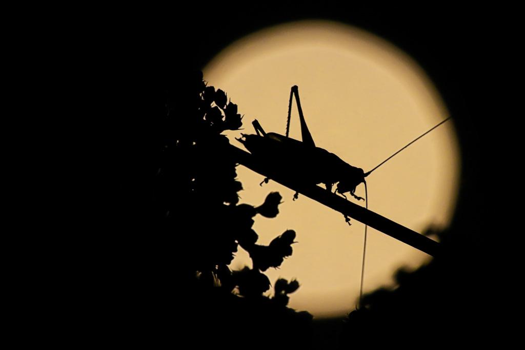 Krekel in de nacht bij volle maan.