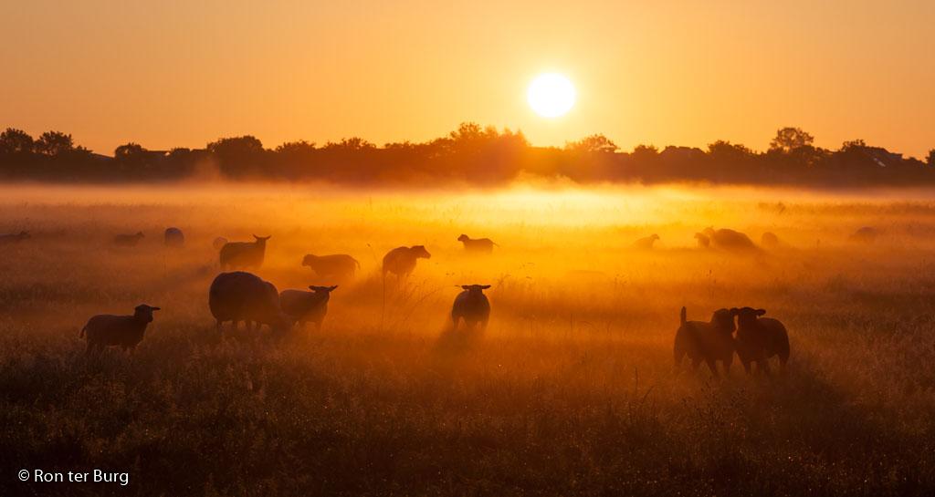 Schapen in de mist tijdens een prachtige zonsopkomst