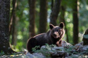 Bruine beren hebben allemaal een net iets verschillende kleur vacht waaraan je ze kunt herkennen. - Fotograaf: Andius Teijgeler