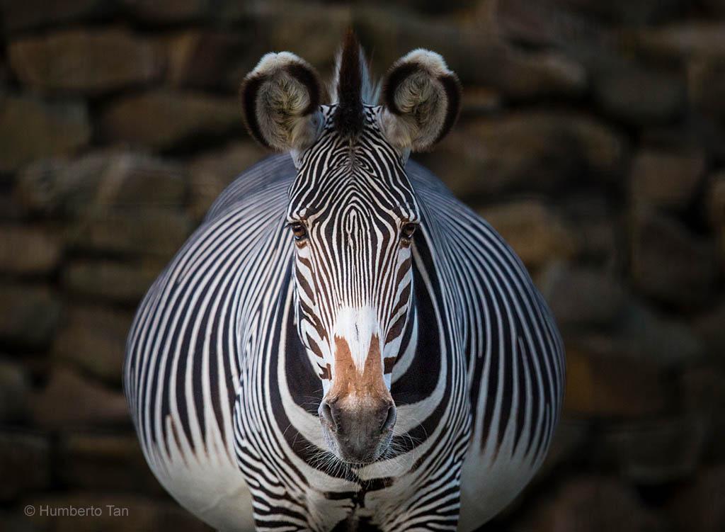 Zebra in Artis na sluitingstijd