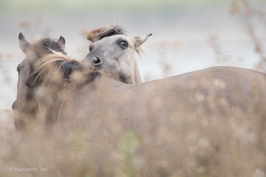 Konikpaard Gelderse Poort