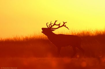 roeselien_red_deer_sunset
