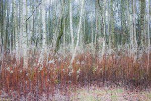 De witte berkenstammen kleuren met de dode stengels van guldenroede. - Fotograaf: Ron Poot
